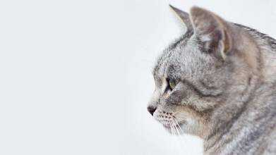 Кошка как домашнее животное.